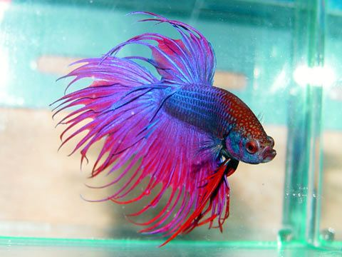 29 best images about under the sea on pinterest jean for Prettiest betta fish