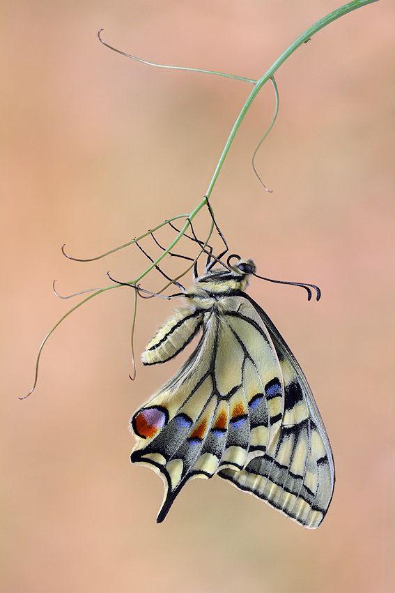 Butterfly by Jim Hoffman