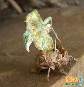 Image of the Periodical Cicada-tree