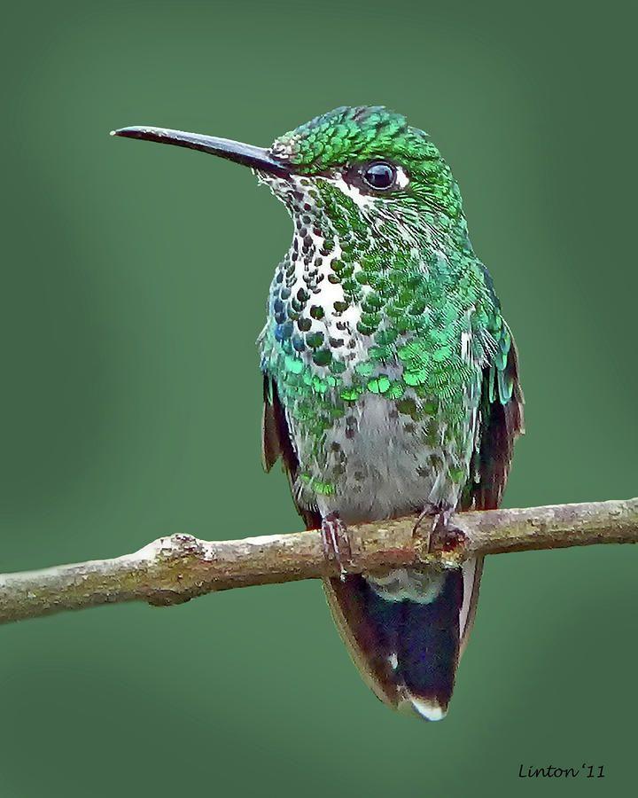 Green-crowned Brilliant Hummingbird Photograph