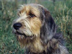 Chien Otterhound