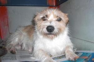 Mon Chere is an adoptable Cairn Terrier Dog in Milford, NH. My name is Mon Chere and I was abandoned at the gates of Second Chance Animal Rescue very pregnant during a tropical storm.  I am a wonderf...
