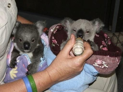 Best Koala Bear Chubby Adorable Dog - cff66d9081652d686cb2d99282190217--baby-koala-koala-bears  Trends_455342  .jpg
