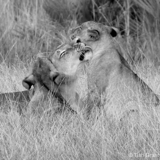The Gorongosa Lion Project team is at it again! This time, they went on a hair-raising mission to that will advance the conservation of Gorongosa's (and Mozambique's) lions. Read their story:http://www.gorongosa.org/blog/bush-diaries/mozambican-lion-story-working-save-africa's-lionsThanks to Tish Grant of Bushfind for this photo!
