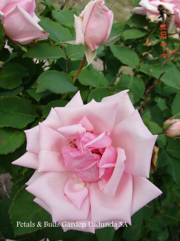 Old rose 'Mme de Wagram' from our garden.