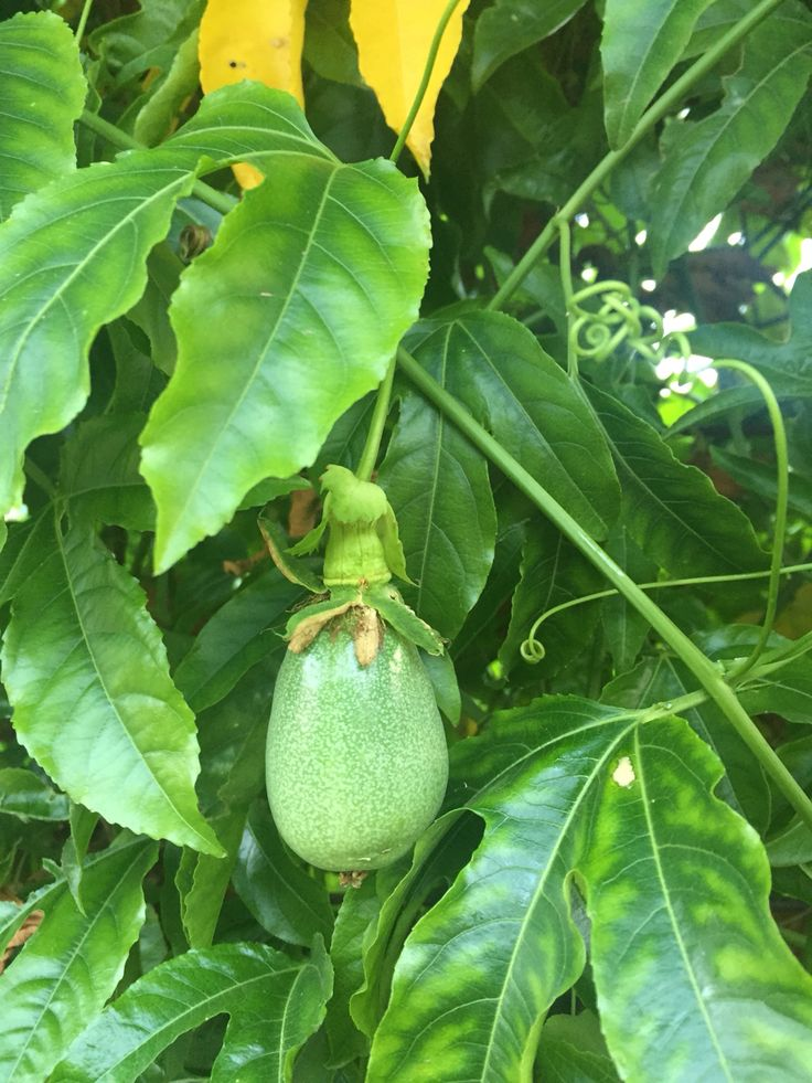 First passionfruit on the vine.