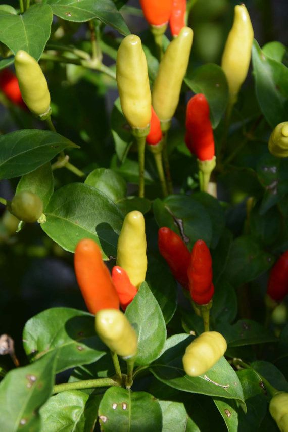 Tabasco Pepper Seeds Hot Peppers Heirloom Pepper Seeds Great for Hot Sauce and Pickling