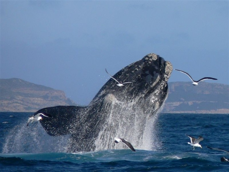 Whale watching in Plettenberg Bay. I am have still yet to see a whale breaching. One day it will happen