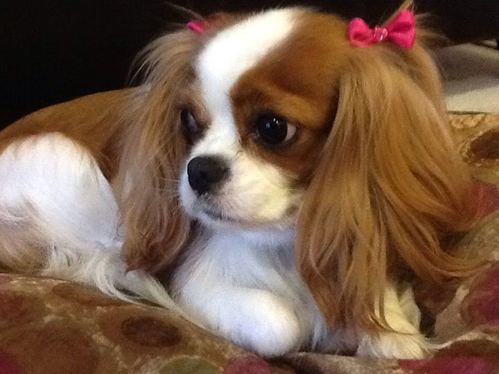 Sweet Just way too cute! She is adorable! Blenheim Cavalier King Charles Spaniel