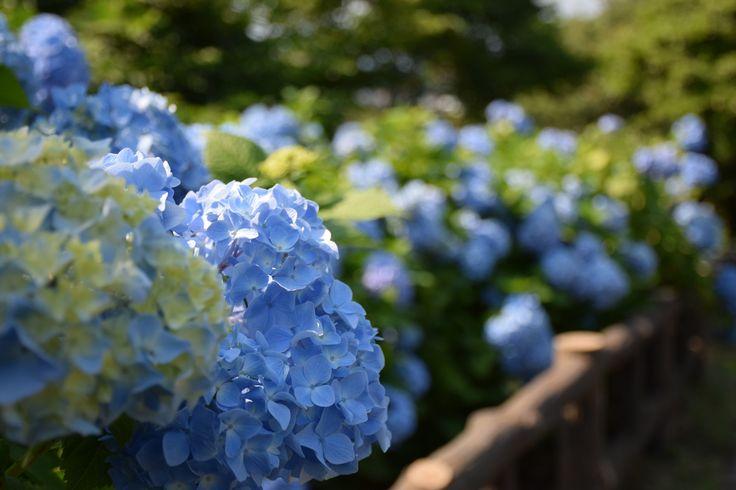 Beginning of hydrangea season. At osaki park, Zushi. Jun 6, 2015