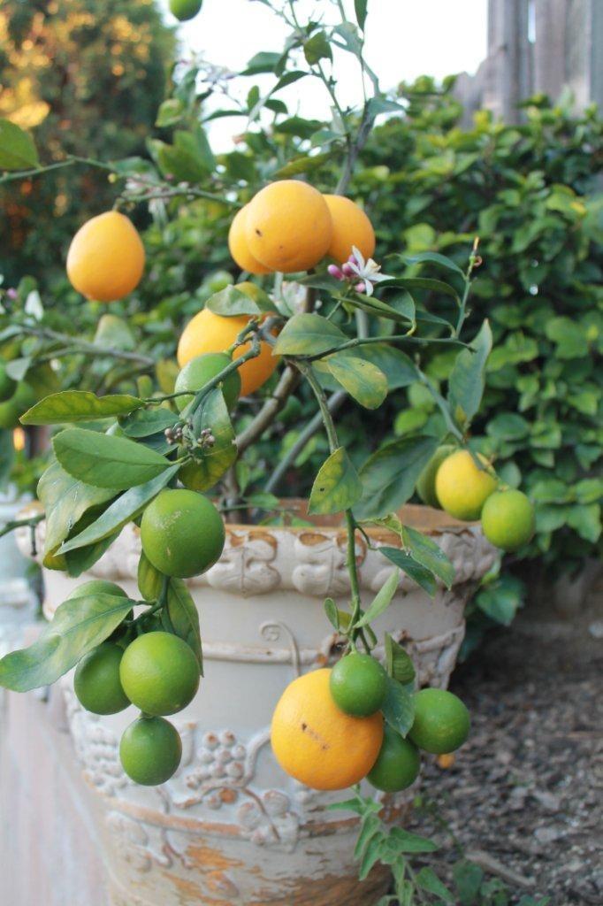 Die besten 25 tree transplanting ideen auf pinterest for When to transplant lemon tree seedlings