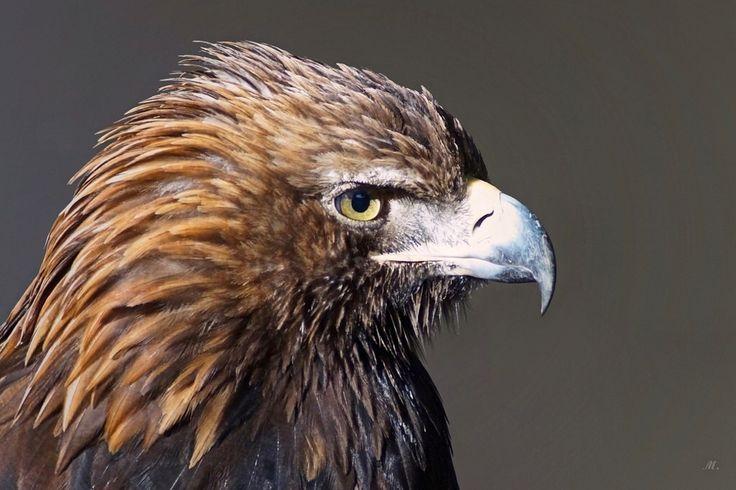 Steenarend (Aquila chrysaetos)