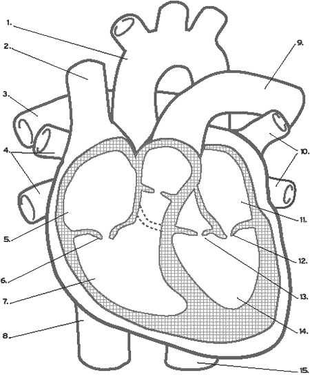 Best 22 heart function ideas on pinterest human body nursing heart diagram it needs its own nutrient and oxygen supply so it can keep beating every ccuart Choice Image