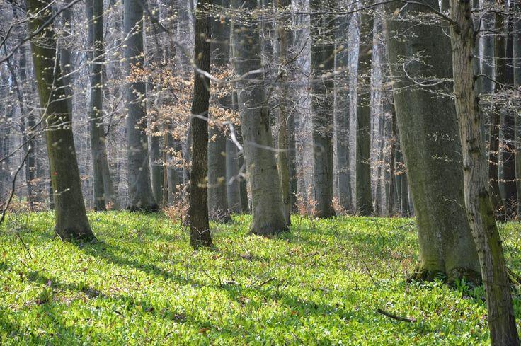 Medvehagymázás Pusztamarót 2015.03.29