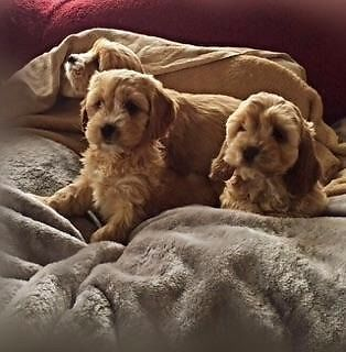 I have my litter of miniature cockapoo puppy's for sale. 10 weeks old and have been wormed and injec