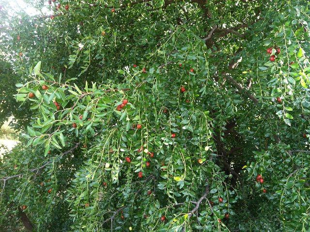 Arkansas Fruit Tree Production Tips | Apple, Pear, Peach, Nectarine