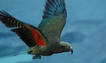 The Kea - an endangered parrot species endemic found in the Southern Alps