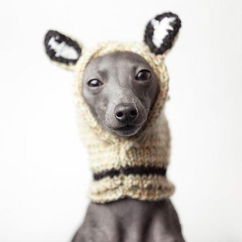 charcik włoski w czapce  #italiansighthound #italiangreyhound #charcikwłoski #charcik #chartbeat #sighthound #levretki #italienischeswindspiel #hat #fashionable #cutenessoverload #love #polska #dog #pies #animalphotography