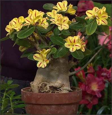Adenium Desert Rose - Sabi Star Yellow - rare and whimsical succulent, with an amazingly swollen base, and up to 6 months of blooms. Perfect for bonsai, great indoor blooming plant! EasytoGrowBulbs.com