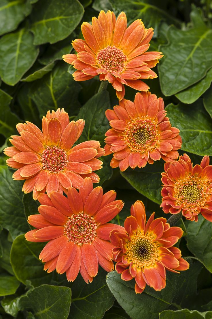 530 best flowers daisies osteopermum gerbera marguerite pumpkin gerbera daisy gerbera hybrid orange orange with yellow petal edges plant details information and resources dhlflorist Choice Image