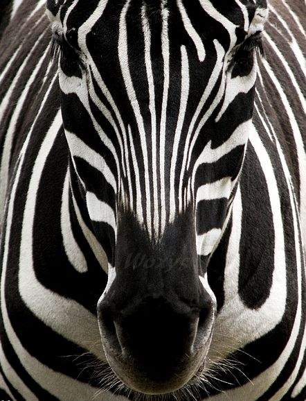It's not until you can look up close that you them see how different and unique each Zebra is