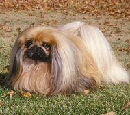 Pekingese, looks a little like mine, but no way do we keep up with that long hair!