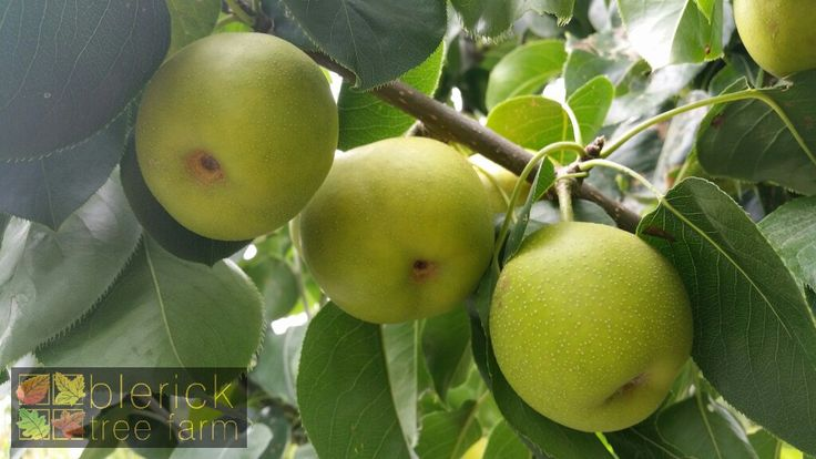 Nashi Pear – 20th Century / Nijisseiki – Purchase Bare Rooted Trees Online