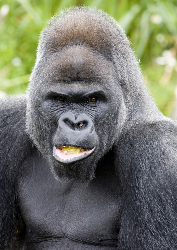 Pin Silverback Gorillas Pictures to Pin on Pinterest ...