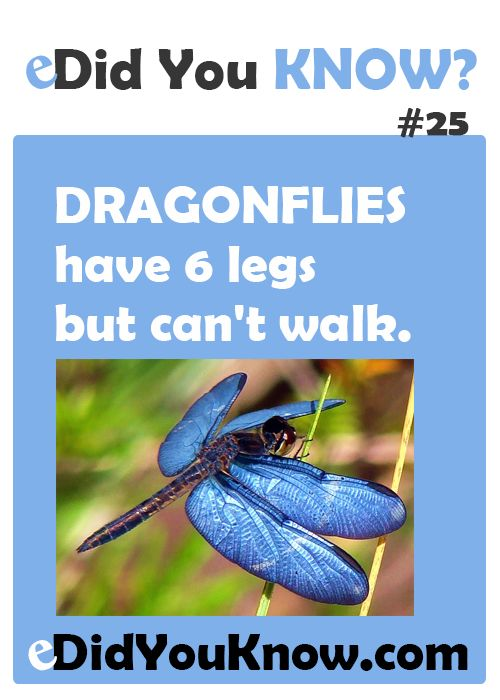 25+ best ideas about Dragonfly facts on Pinterest | Blue dragonfly ...