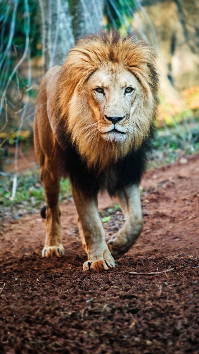 lion iphone wallpaper - photo #32