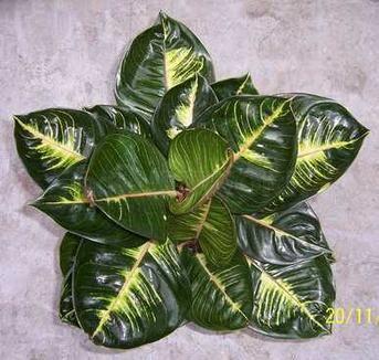 "Aglaonema (Chinese Evergreen) ""Black Moonlight"". https://www.houseplant411.com/houseplant/chinese-evergreen-aglaonema-how-to-grow-care"