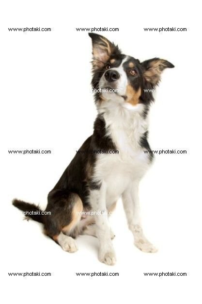 http://www.photaki.com/picture-black-and-white-border-collie_1329724.htm