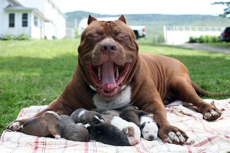 "World's Largest Pitbull ""Hulk"" Has 8 Puppies Worth Up To Half A Million Dollars BoredPanda"