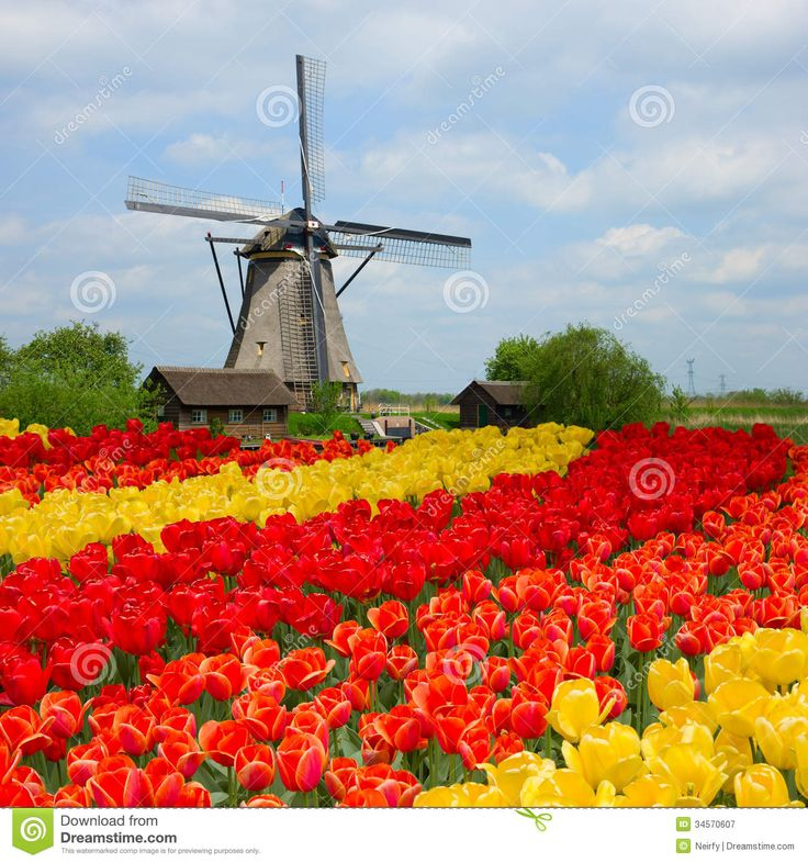Dutch Windmill over Tulips Field Photographic Print