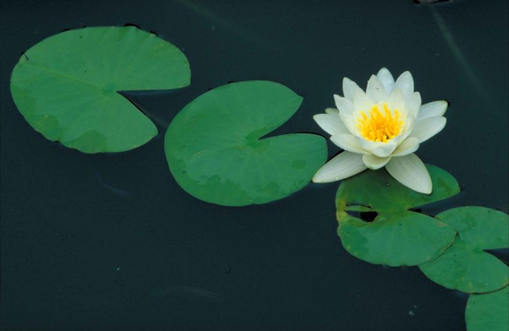 A common plant used to treat sore throats and mouth sores - http://wellnesscoachingforlife.com/fragrant-water-lily-white-pondlily/  #health