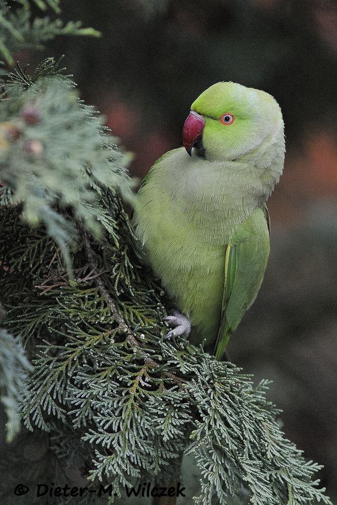 Halsbandsittich / Rose Ringed Parakeet