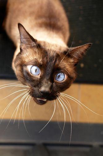 cutie!: Siam Cat, Duh Cat, Kitty Cat, Cat Eye,  Siamese, Crosses Eye, Crazy Cat, Siamese Cat, Cat Lovers