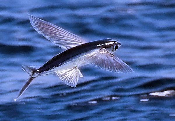 flying fish by cacodaemonia - photo #31