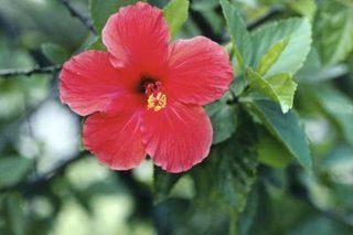 How to Dry Hibiscus Flowers for Tea (with Pictures)   eHow