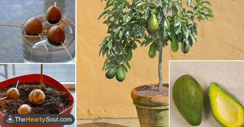Planting and care of avocado trees. Stop buying avocados. Here's how you can grow an avocado tree in a small pot at home
