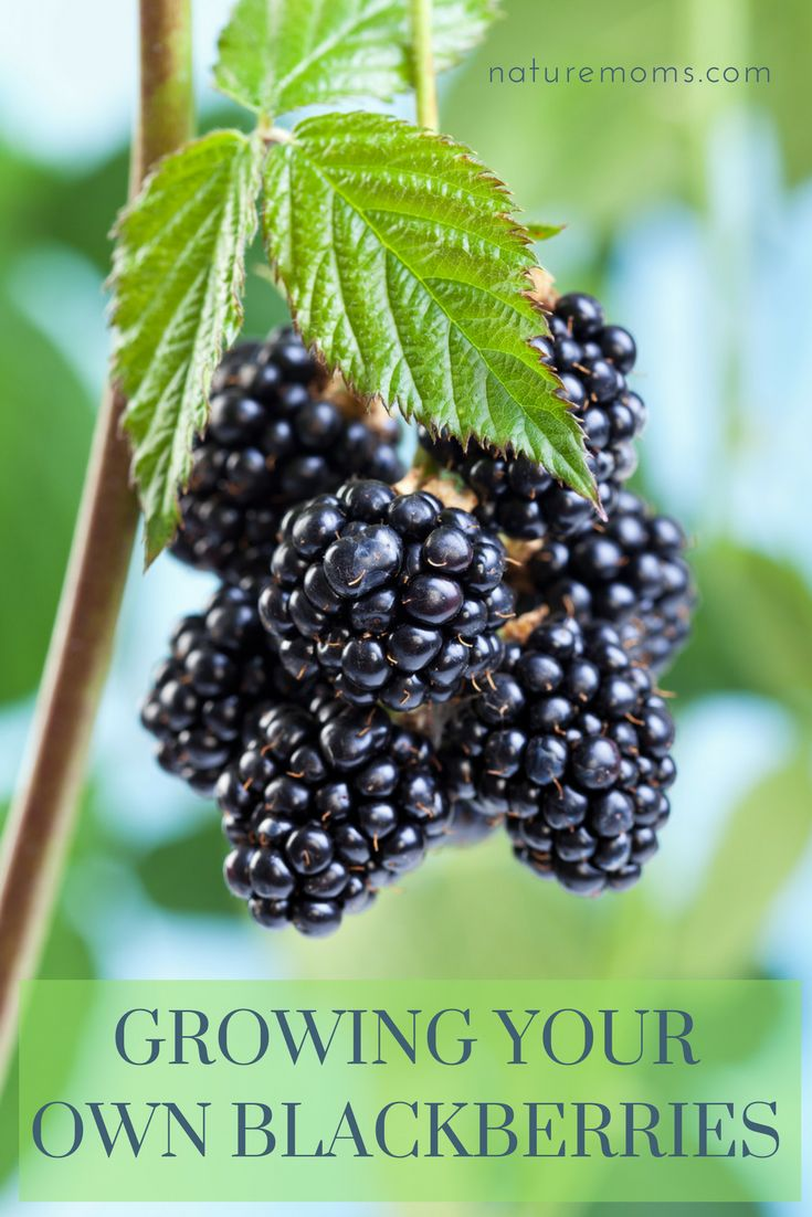 Growing Your Own Blackberries In Your Garden or Homestead