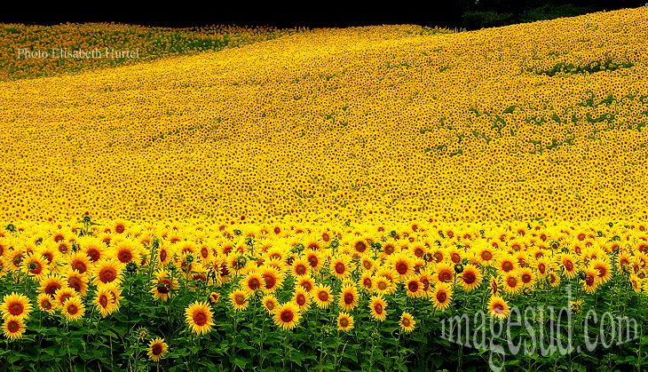 100 Best Sunflowers Images On Pinterest Sunflowers Beautiful