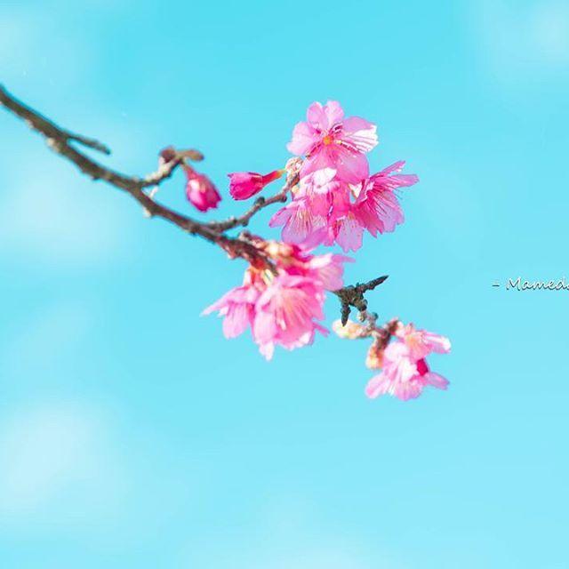 【mameda_photo】さんのInstagramをピンしています。 《. . 青空とサクラ . . . . . #写真好きな人と繋がりたい #ファインダー越しの私の世界 #沖縄 #沖縄カメラ #写真好き #canon #キヤノン #5dmark3 #東京カメラ部 #tokyocameraclub #springhascome #風景 #サクラ #桜 #Sakura #沖縄の桜 #寒緋桜 #緋寒桜 #Sakura #八重岳 #本部町八重岳 #濃いピンク色 #日本で一番早いさくらまつり #CherryBlossoms #しばらくサクラフォト #さくらさくら #あでやかな美人 #春光 #春の訪れ #眩いひかり》