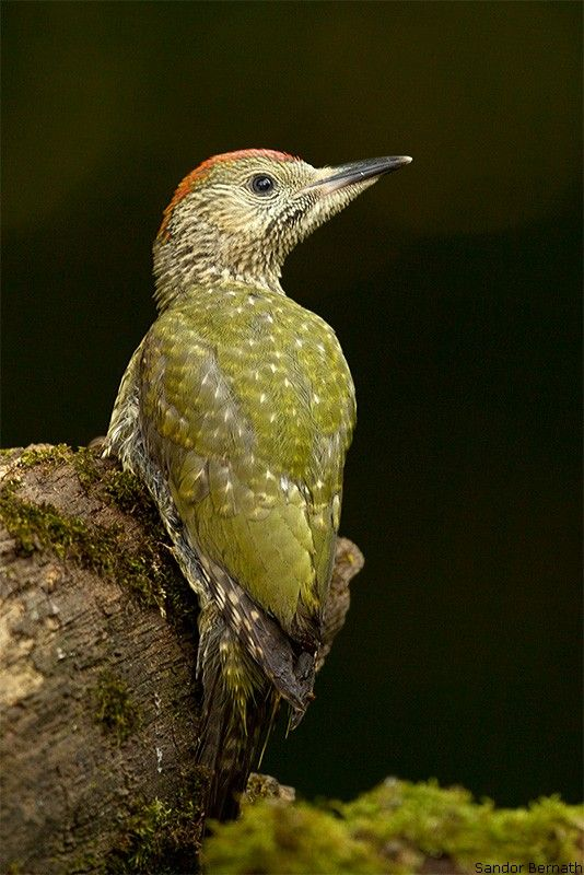 Green Woodpecker: largest of the three woodpeckers that breed in Great Britain.