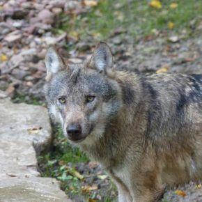 Fermiamo la caccia al lupo. Protestiamo