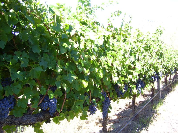 It was harvest time at the Holden Manz in Franschhoek, Cape Town.