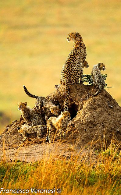 Mother cheetah with cubs
