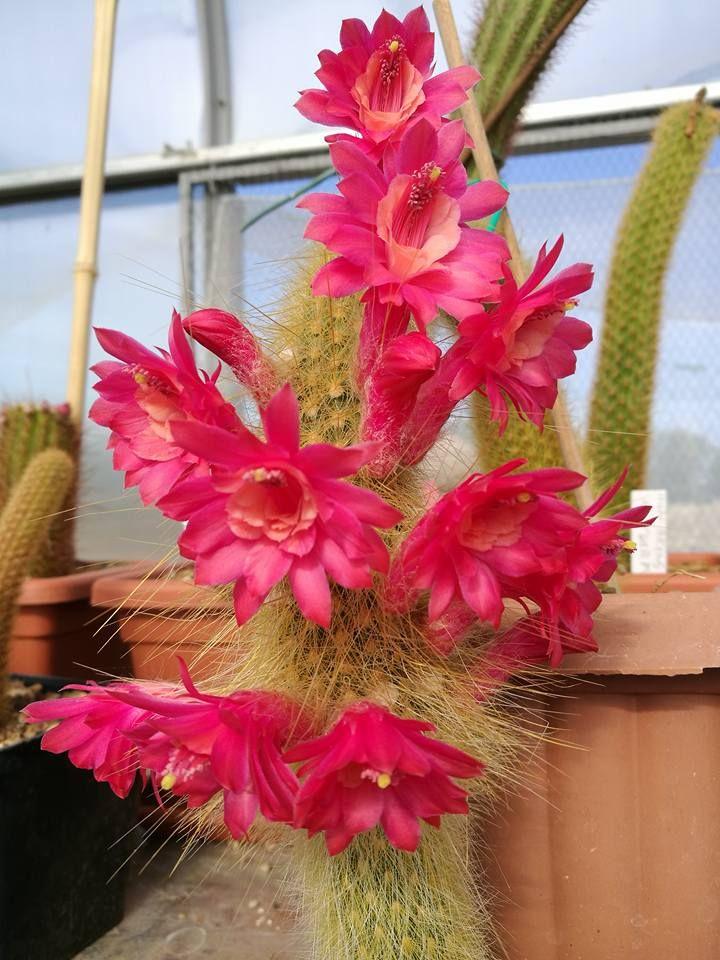 Hildewintera Colademononis x Akersia Roseiflora