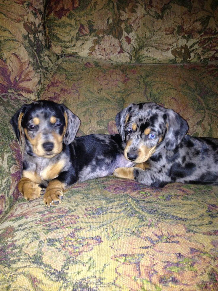 My two dappled dachshunds when they were tiny babies, Cat and Ballou.