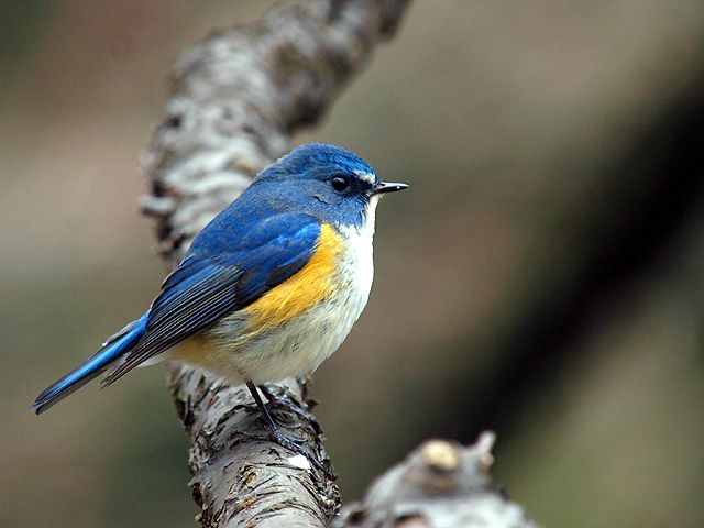 Red-flanked Bluetail ルリビタキ - Twitter